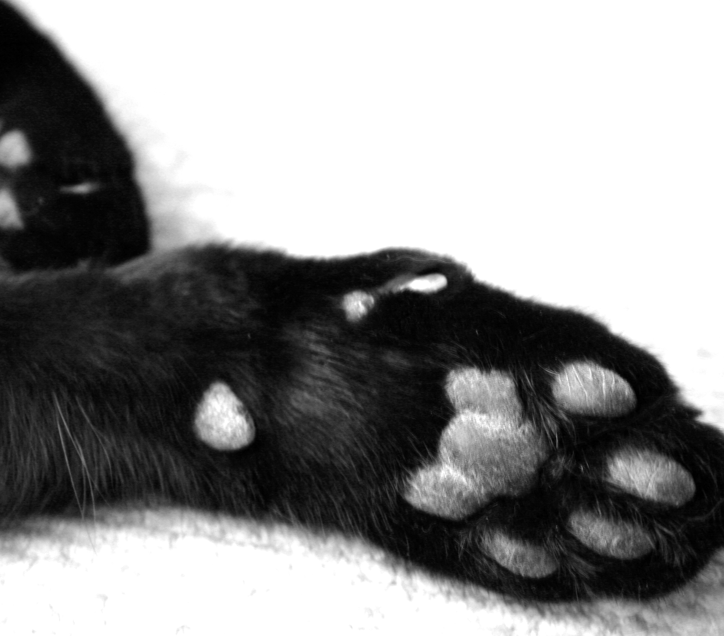 White Cat With One Black Paw